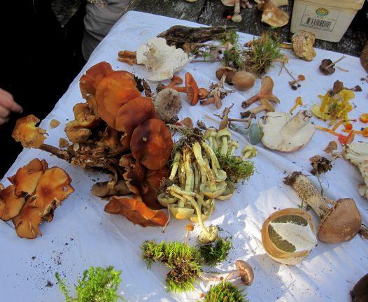 Svampexkursion med Södra Vätterbygdens svampklubb, del 5