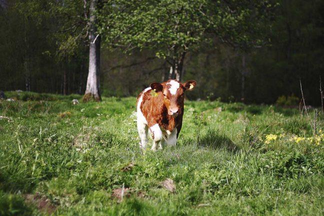 M agerar för mjölkbönder