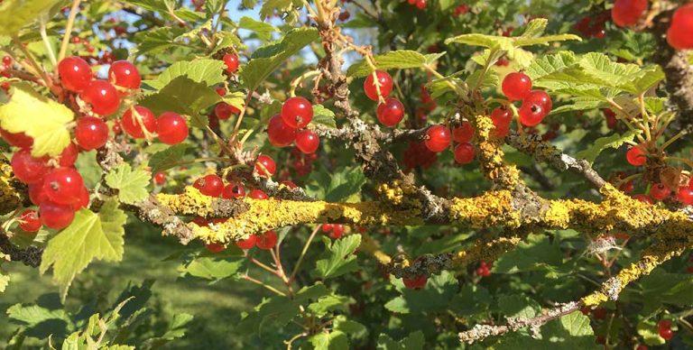 Vinbärsbuskar i trädgårdspalten