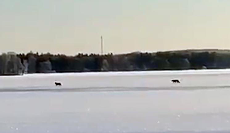 Vargar vid Herrestadsjön